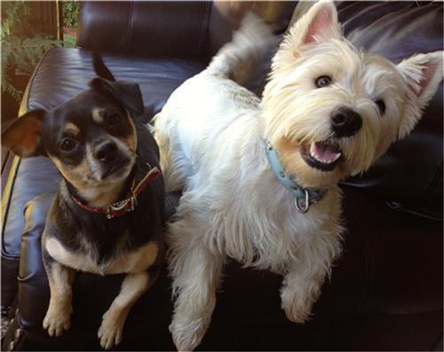 Akc Terrier Group Breeds Mixes